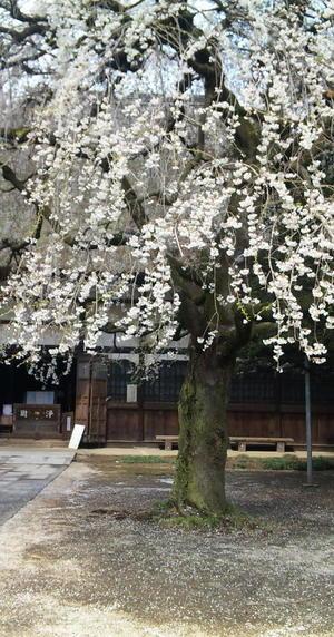 Sakura2010d