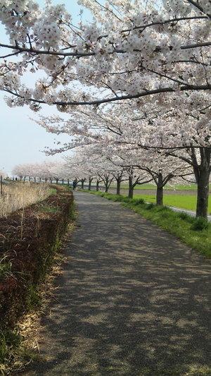 Sakura2010k