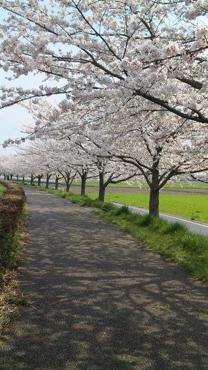 Sakura2010l