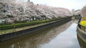 2011sakura16