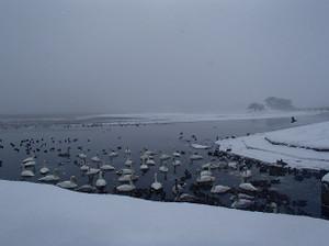 Snow_swan_1