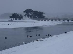 Snow_swan_2