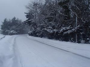 Snow_swan_3