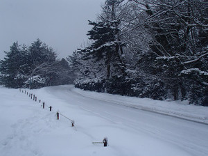 Snow_swan_4