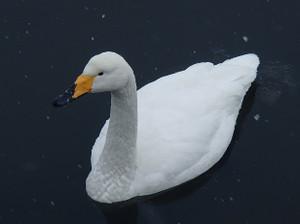 Snow_swan_6