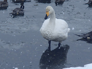 Snow_swan_7