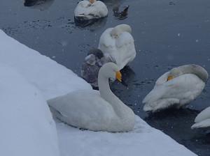 Snow_swan_8