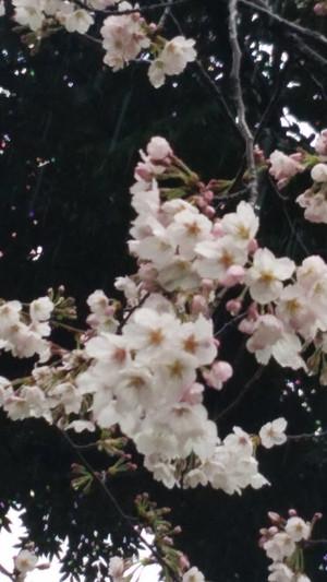 Sakurasaku_2