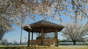 Sakura2014a