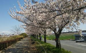 Sakura2014c