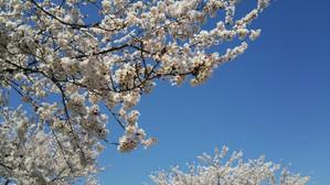 Sakura2014e