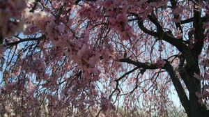 Sakura2014g
