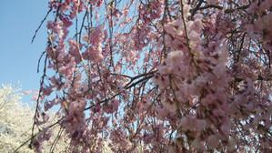 Sakura2014h