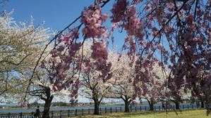 Sakura2014i