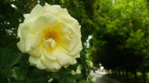 Rosegarden_10
