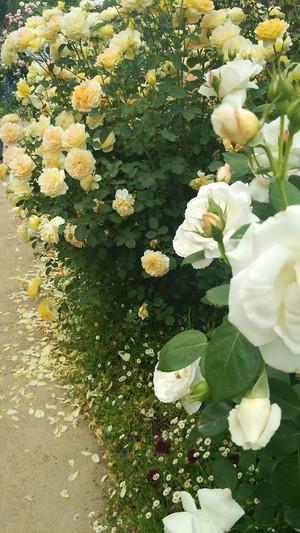 Rosegarden_6