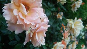 Rosegarden_7