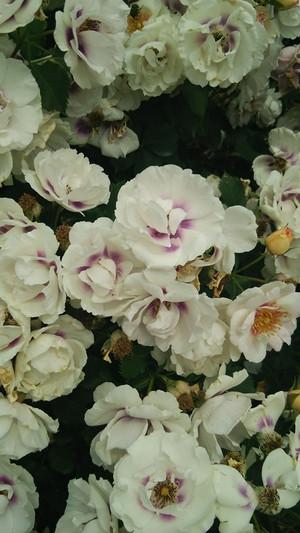 Rosegarden_8