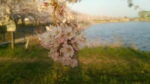 Sakurasanpo_1