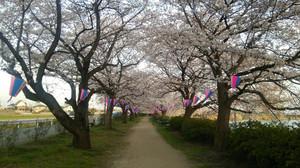 Sakurasanpo_12