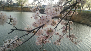 Sakurasanpo_4