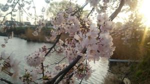 Sakurasanpo_5