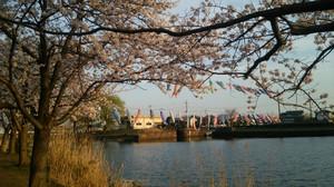 Sakurasanpo_9