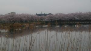 Sakurautusu_1