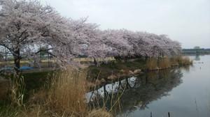 Sakurautusu_2