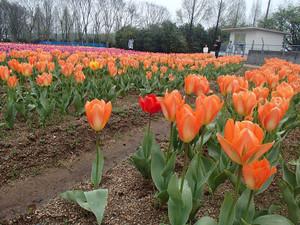Tulipa_5