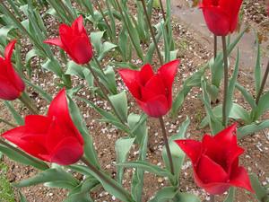 Tulipa_9