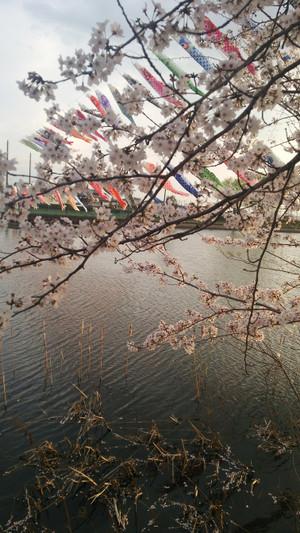 Sakura2016_2