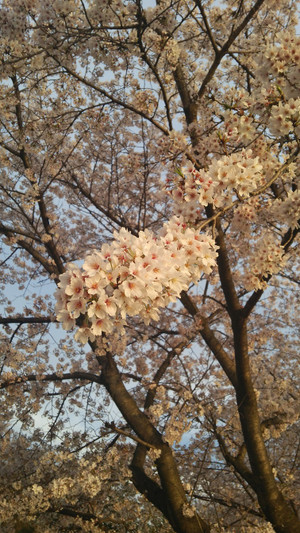 Sakura2016_3
