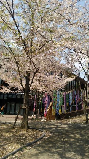 2017413sakura_2